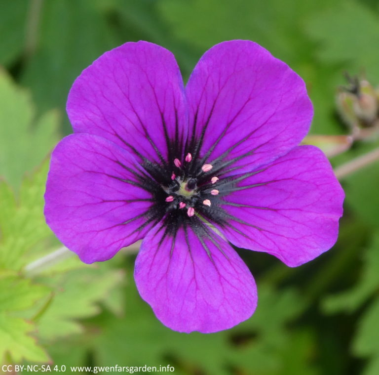 A single purple flower with some black veins on the petals coming out of the centre, and with pink stamens and carpels in the middle. It is surrounded by green foliage.
