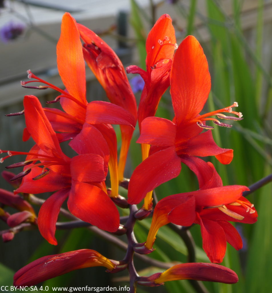 Crocosmia 'Lucifer'. A collection of red flowers coming off a central stem. They are a very bright red, kind of open star-shaped with darker red tones down the middle of each flower.