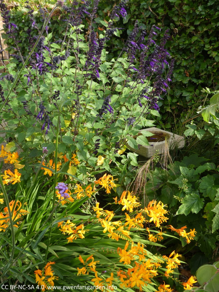 A clump of the golden-yellow flowers, with purple flowers on a different plant, the much taller Salvia, behind it. To the middle right is a small bird bath, and behind all of this is a beech hedge.