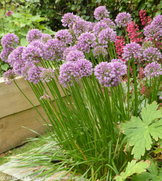A clump of Allium 'Millenium'. This is an upright plant with narrow green leaves and sturdy, erect stems bearing dense purple-pink flowers in rounded umbels. It is planted at the corner of a wooden raised bed, and you can see blurry coral-pink flowers and a beech hedge, behind them.