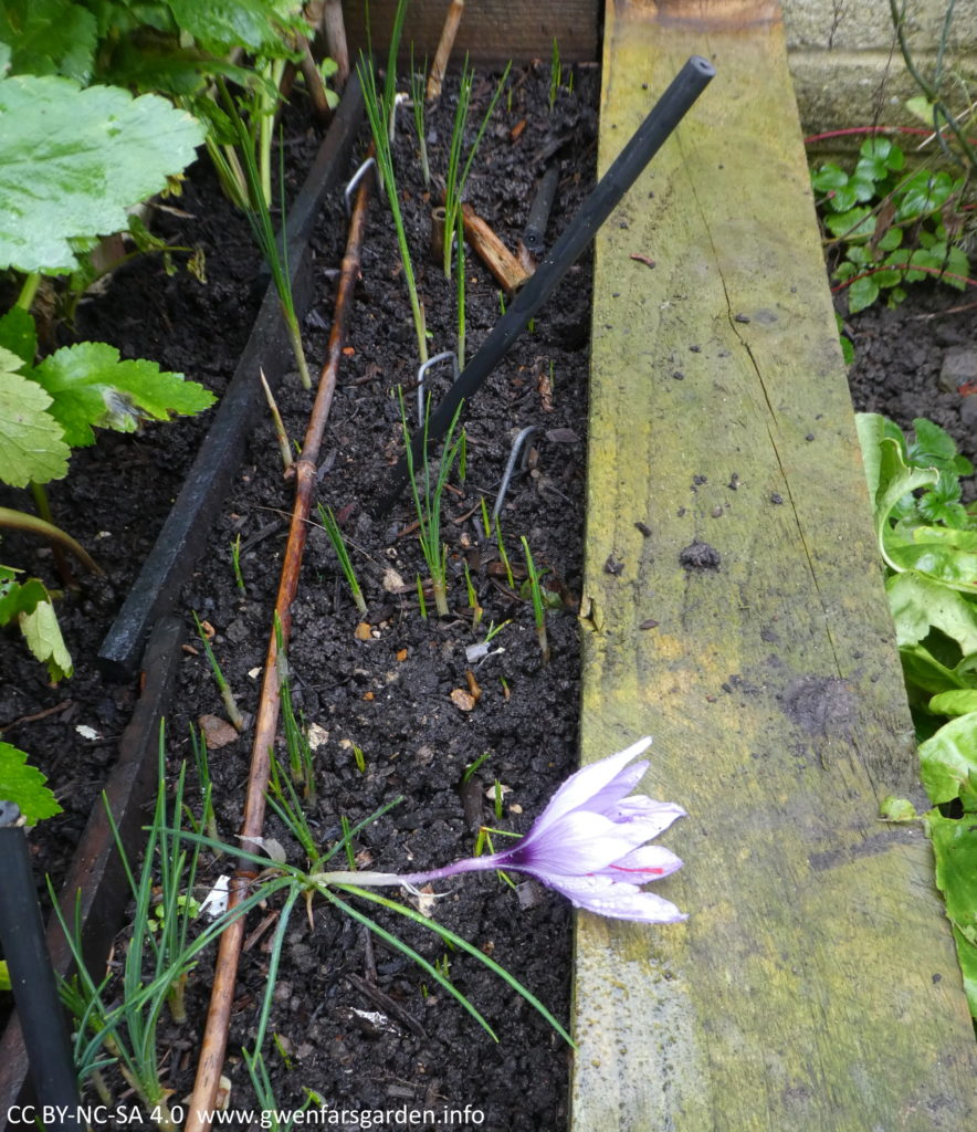 The small thin border with the Saffron growing in it. You can see there are lots of green shoots still coming up. On the left side are green leaves of parsnips and on the right is the edge of the wooden raised bed.