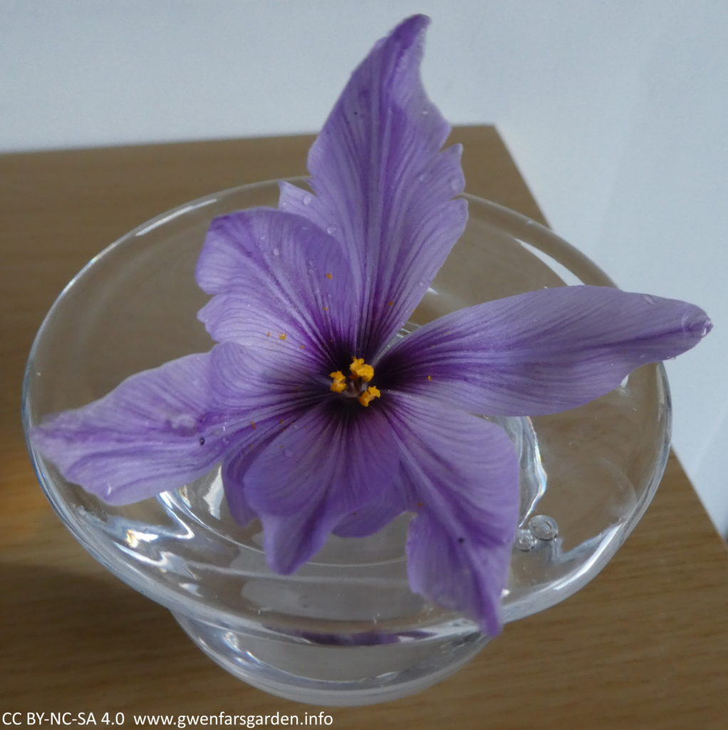 The remaining flower, minus the red stigmas, in a clear glass vase sitting on a wooden shelf.
