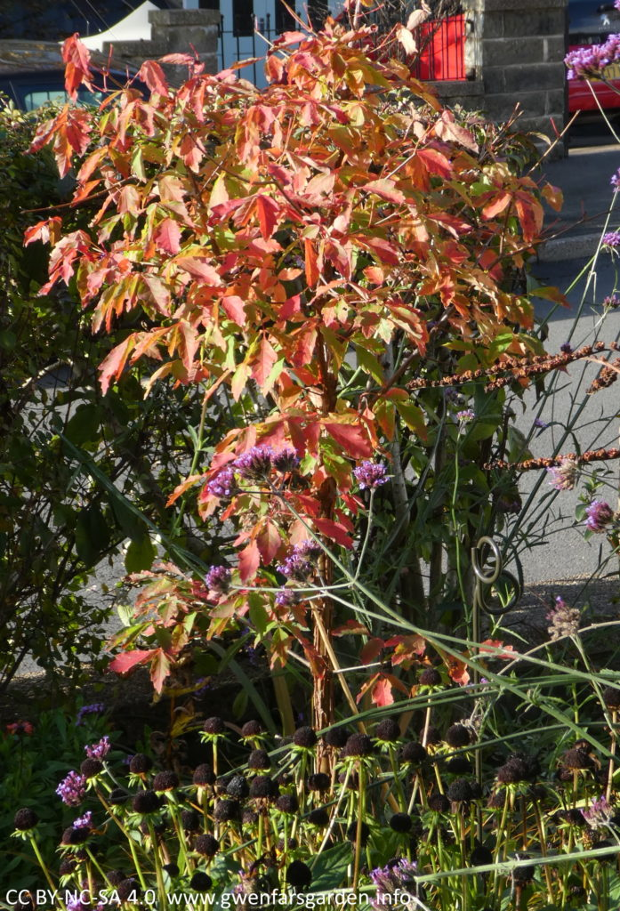 A closer photo of the same tree, but in Autumn with a mix of greeny-red and red leaves. It is surrounded by other plants, including a purple Verbena bonariensis.
