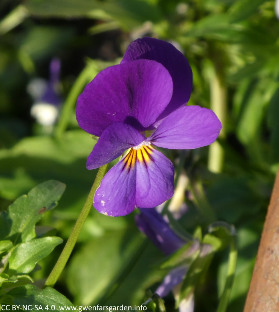 A single purple viola, which has a bright yellow splotch in the middle.