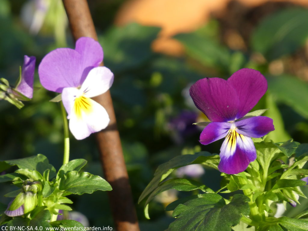 A close-up of two different viola flowers. On the left is one that is mauve-purple and white with a yellow splotch. On the right it's an aubergine-purple colour with a yellow-white splotch.