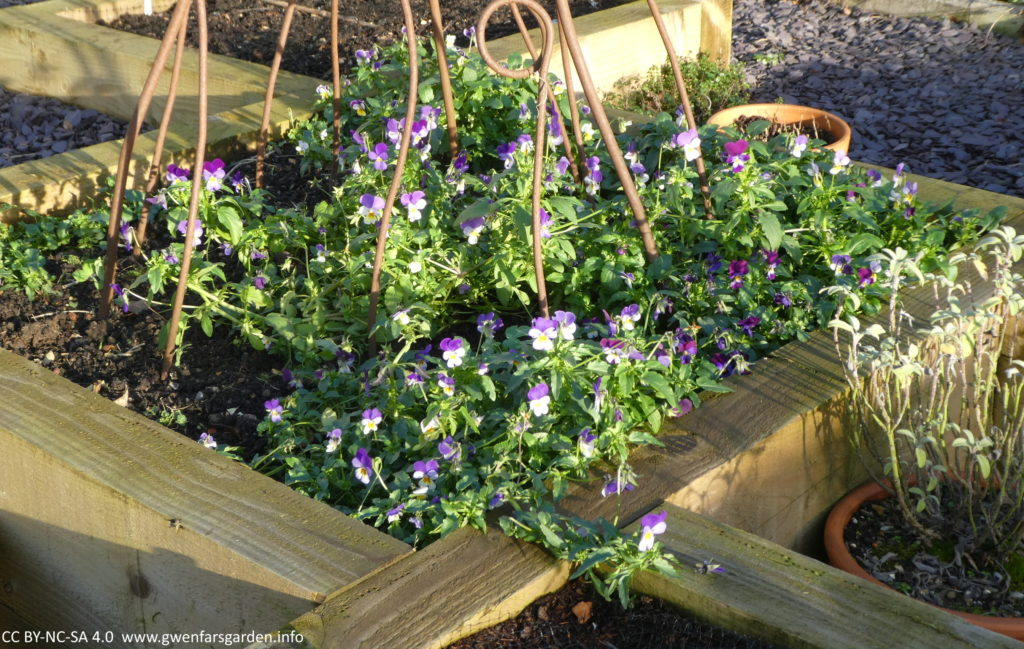 A square wooden raised bed with a mixed group of violas that have self-seeded in this bed. You can see the bottom part of an rusted steel obelisk, which I grow peas and beans up in the season. There are also some pots next to the bed including one with a sage plant.