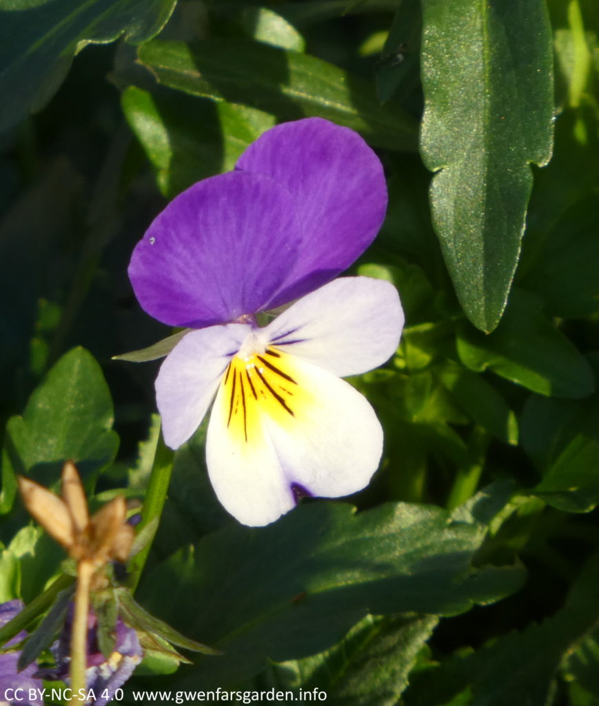 The mauve-purple and white viola with a yellow splotch in the centre, in more detail.