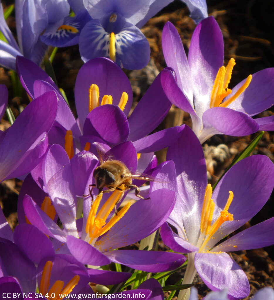 A small purple goblet shaped crocus flower with a honey bee on the yellow stamens in the middle, collecting pollen.
