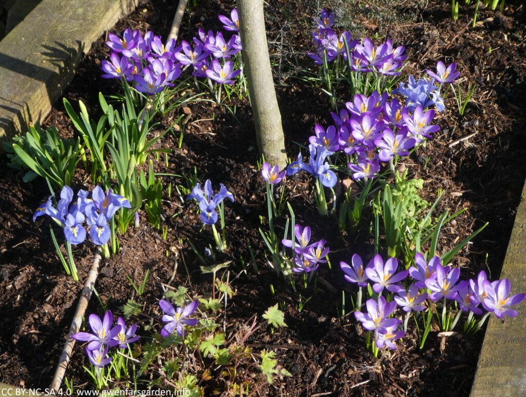 Dozens of small purple crocuses and blue iris flowers underneath a young tree, of which you can only see the lower trunk. Amongst them are a couple of clumps of daffidols that will be flowering soon.