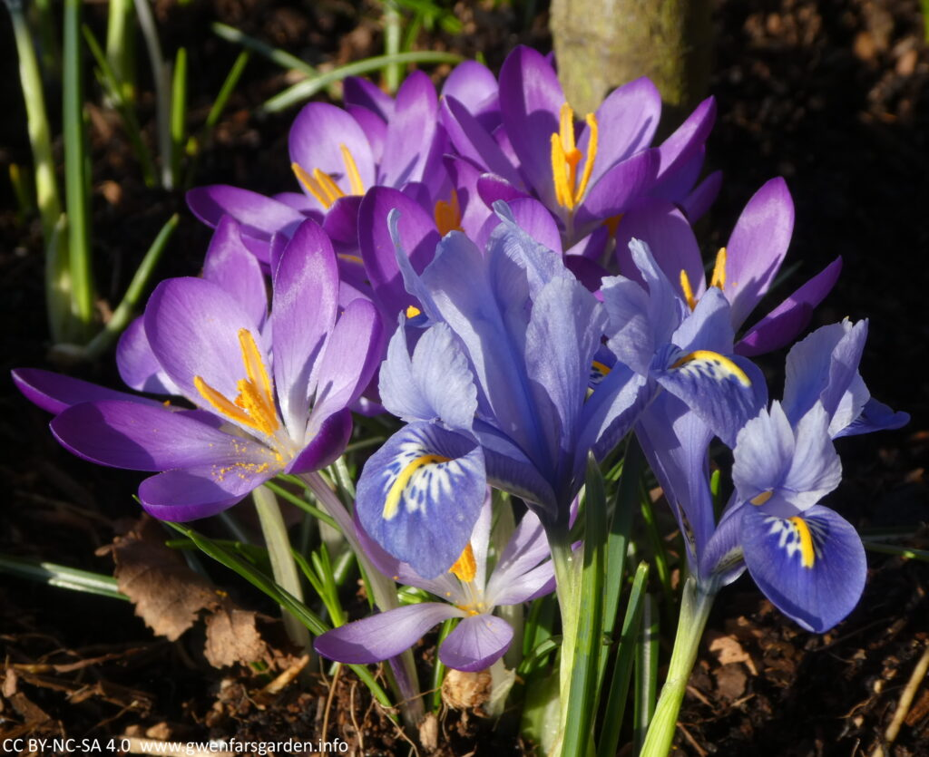 A couple of small blue irises alongside some purple crocuses. The sun is shining on the petals and they kind of shimmer.
