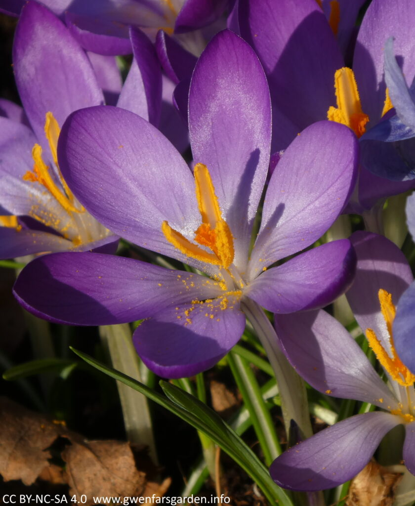 A small purple goblet shaped crocus flower. You are looking in from above and can see some of the pollen from the yellow stamens and the orange pistil in the middle of the flower. The sun is shining on it and the purple petals have a shimmer.