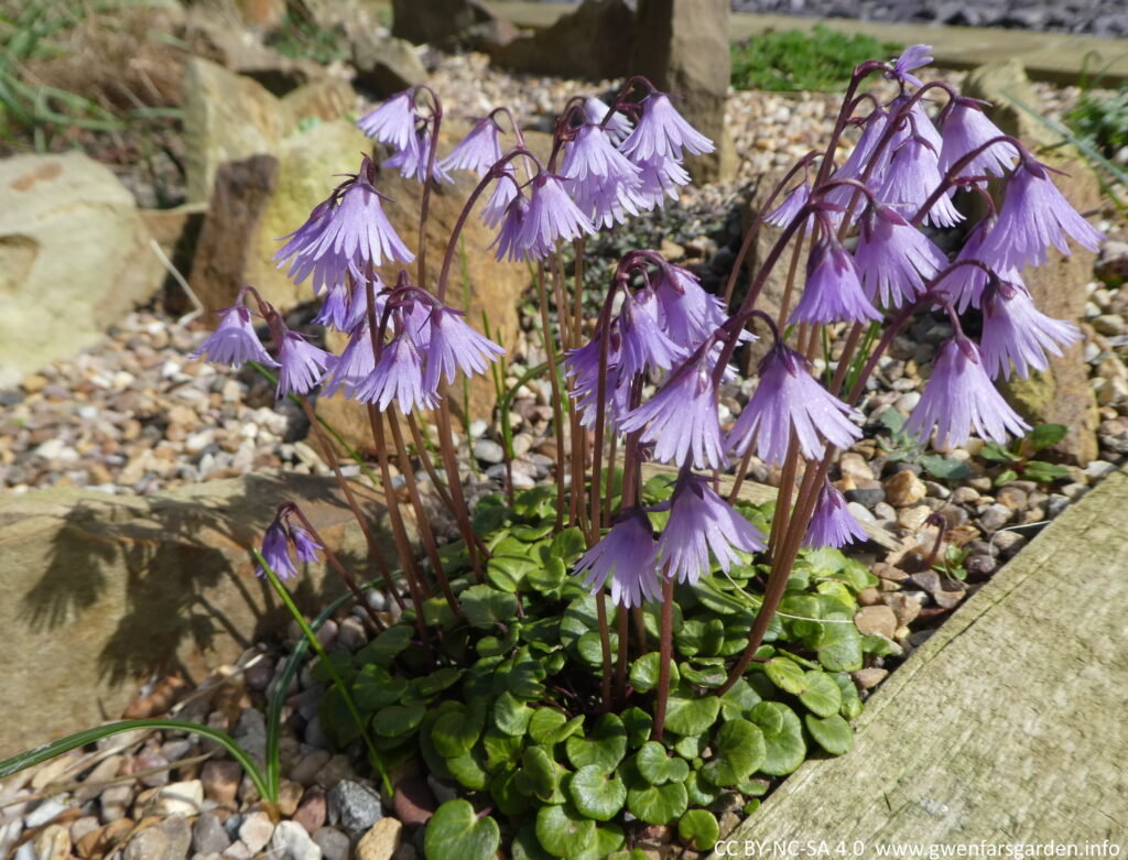 A collection of the same flowers. At the base of the small plant are leathery, rounded to heart-shaped, dark green leaves and around them are small pebbles (horticultural grit). They sit within a small alpine scree bed.