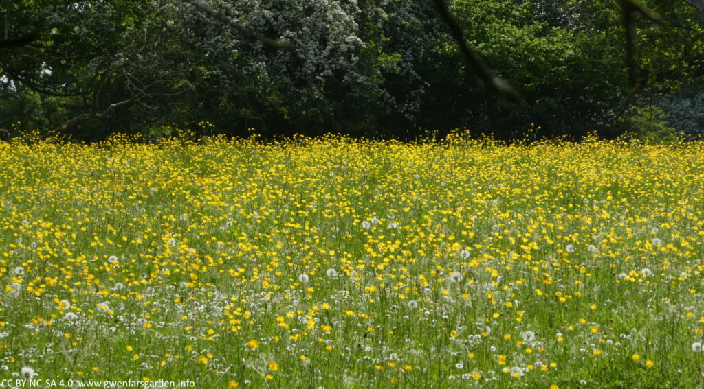 A field in the sun filled with flowering brilliant yellow buttercups. You can also see some dandelion seed heads, and trees beyond the field.