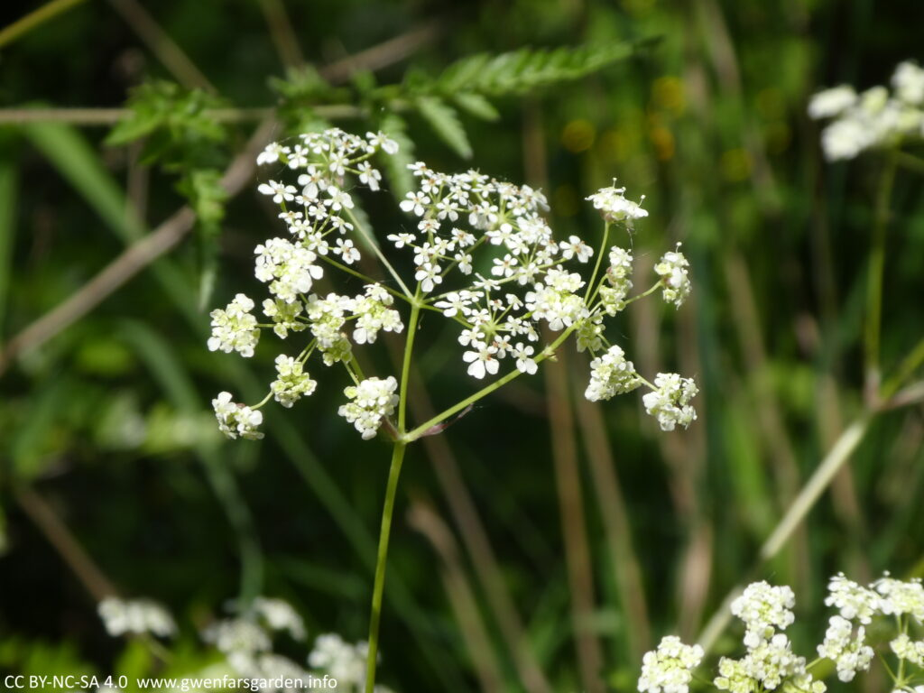 Cow Parsley - NOT wild carrot, though to confuse matters, wild carrot can be called cow parsley too. Also known as Queen Anne's Lace. Focusing on just one umbellifer, which is a collection of miniature white flowers forming a kind of umbrella-like structure.