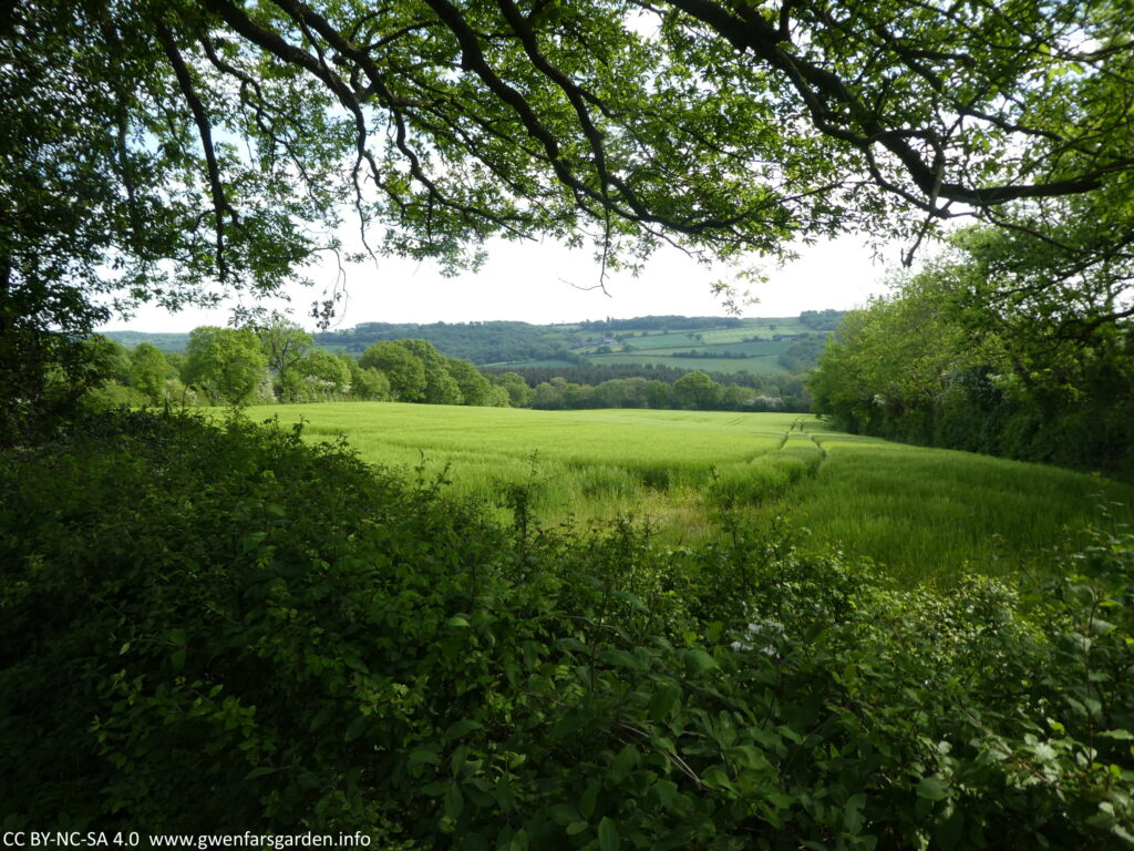 Looking through a hedge with a tree canopy towards a field of wheat (?) and further beyond, gentle hills, fields and copses. It's all very green and lush.