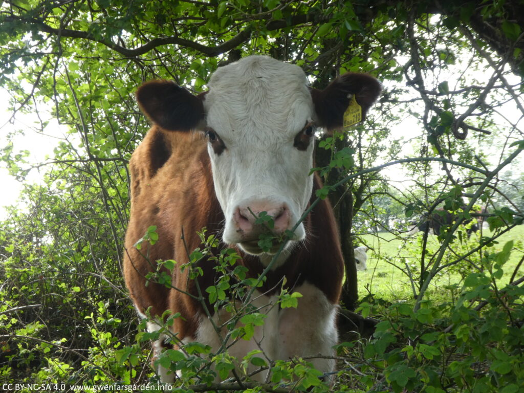 Another brown cow with a white face, only this one has brown patches around both eyes. This cow is much closer and I ended up backing away coz it was getting a little too friendly.