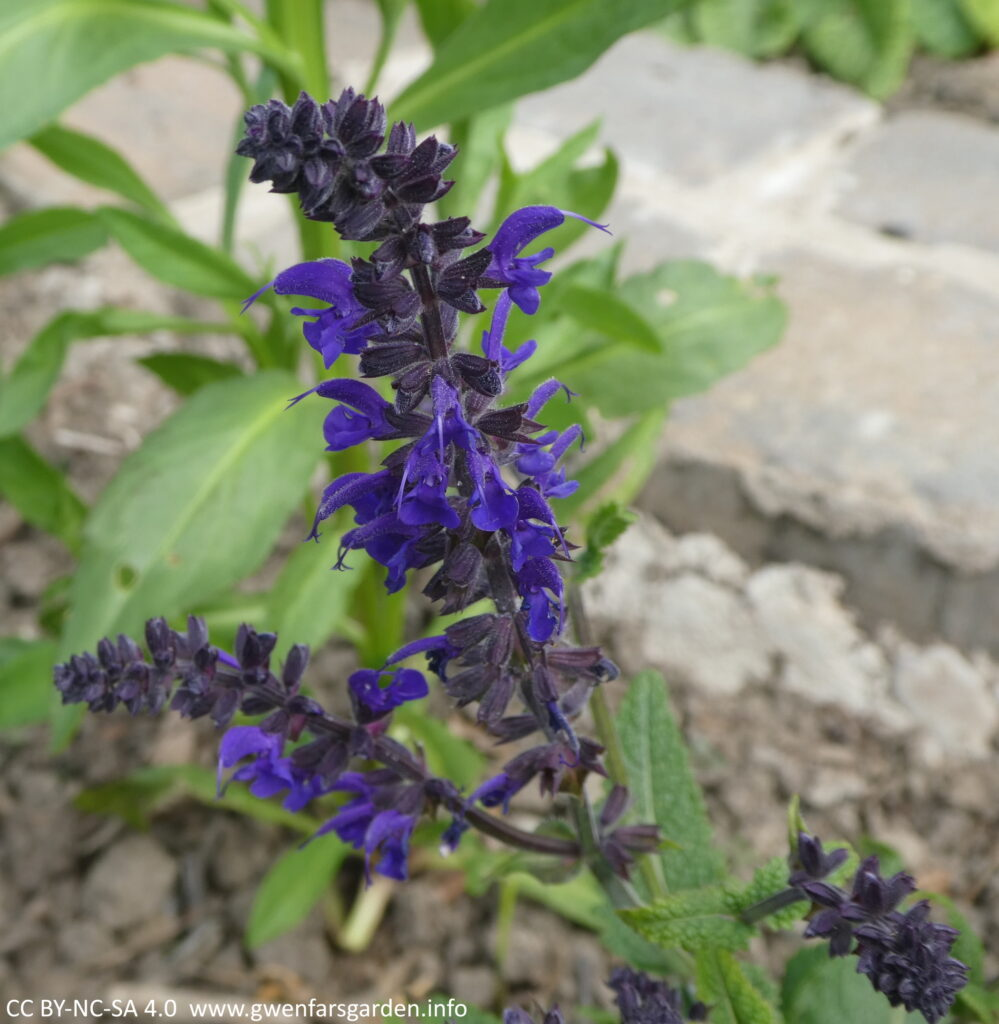 A couple of stems of small deep blue flowers.