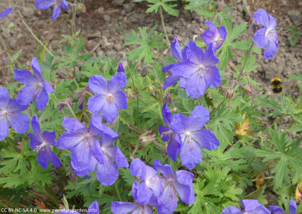 Blue papery-like flowers, with a bumblebee hovering on the right edge.