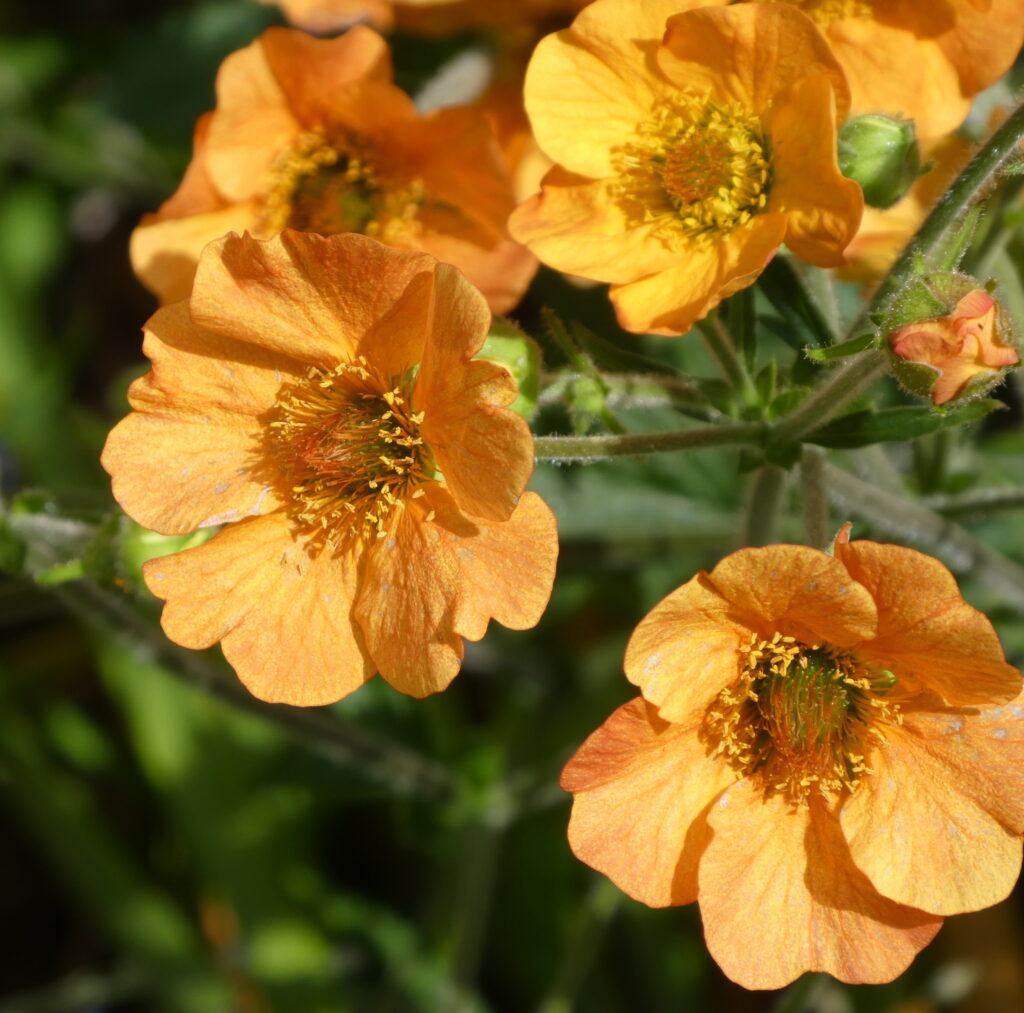 A collection of small orange flowers.
