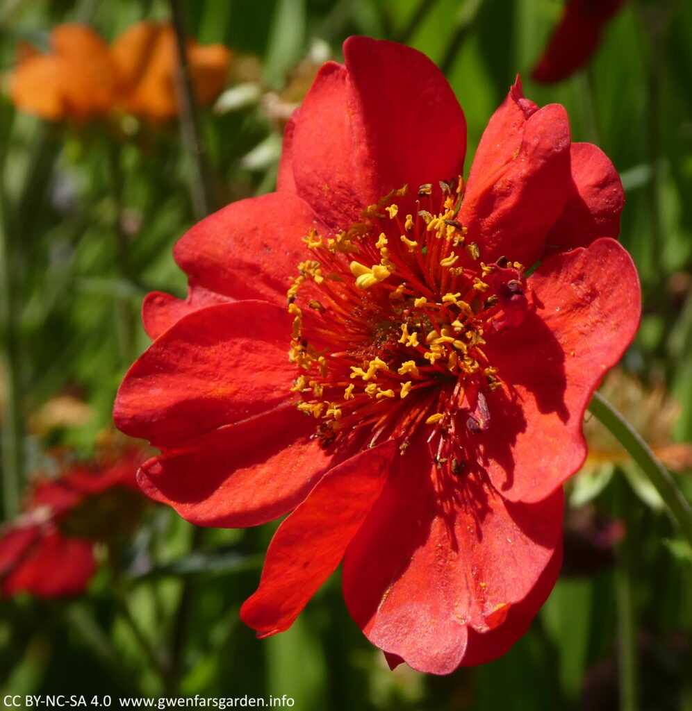A single red buttercup-like flower with orange pistils and stames in the middle.