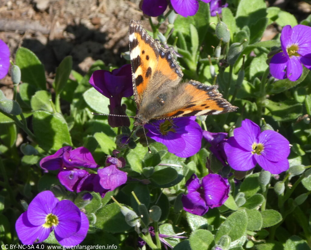 Several small purple flowers with a Painted Lady Butterfly on one, which is black and orange.