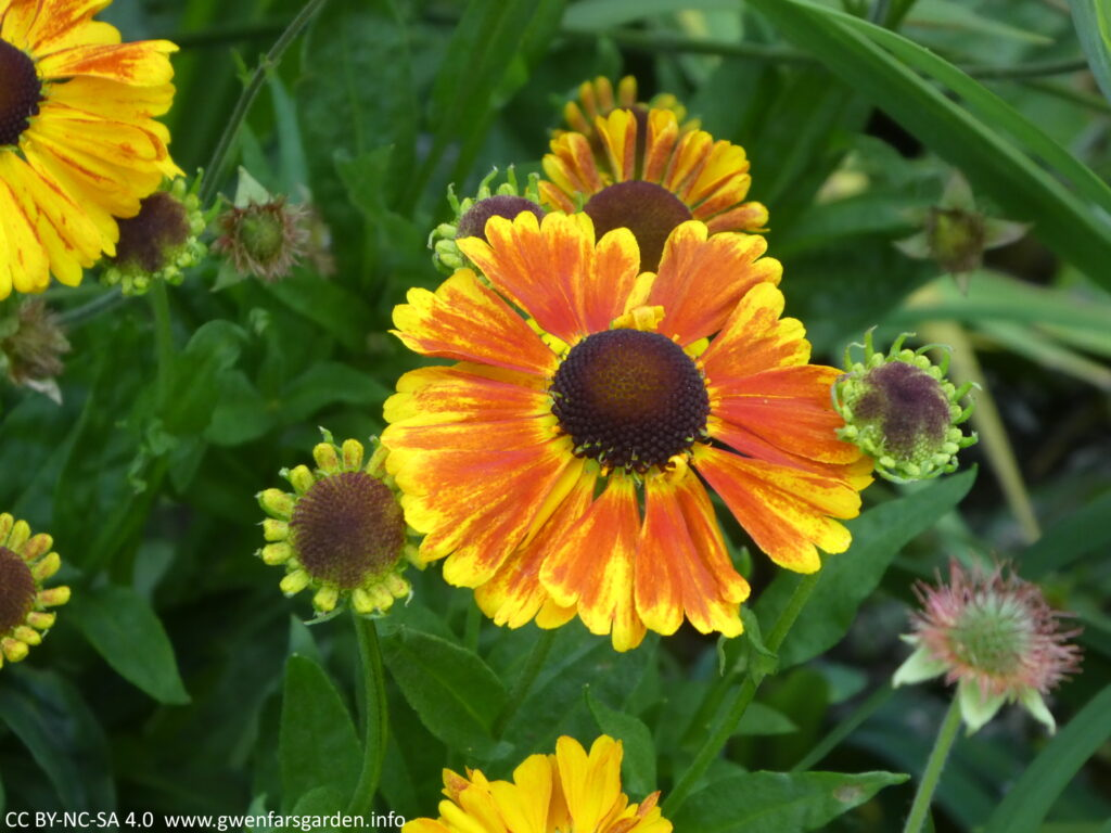 A larger daisy-like flower with flame orange and yellow petals and a blackish middle.