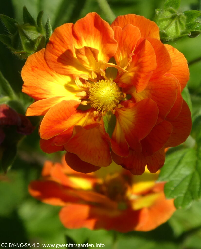 A single flower that has several layers of petals, with the top layer showing the brilliant orange and yellow markings.