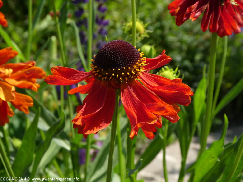 A beautiful red flower with it's petals hanging below in a relaxed fashion, from the centre part, which has yellow stamens and pistols around it's edge, and is black in the middle.