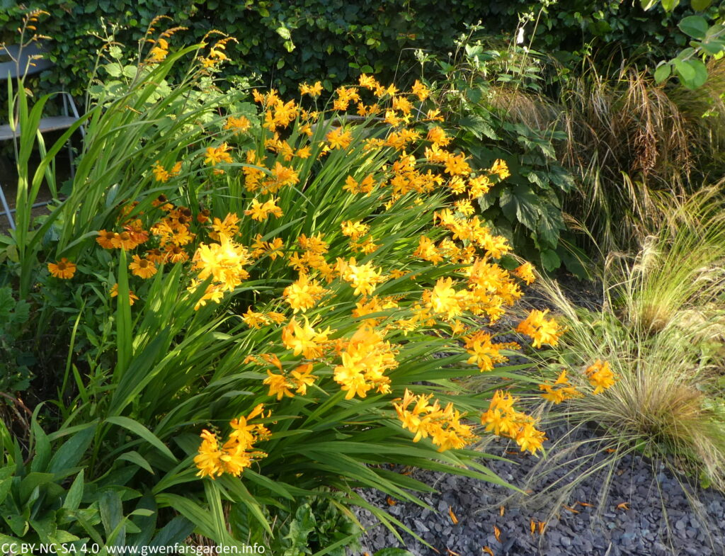 Multiple stems of star-shaped yellow-orange flowers. Along with the stems of flowers, you can see the green sword-shaped leaves of the plant. Beside these are other plants including a mix or ornamental grasses, and orange flowers.