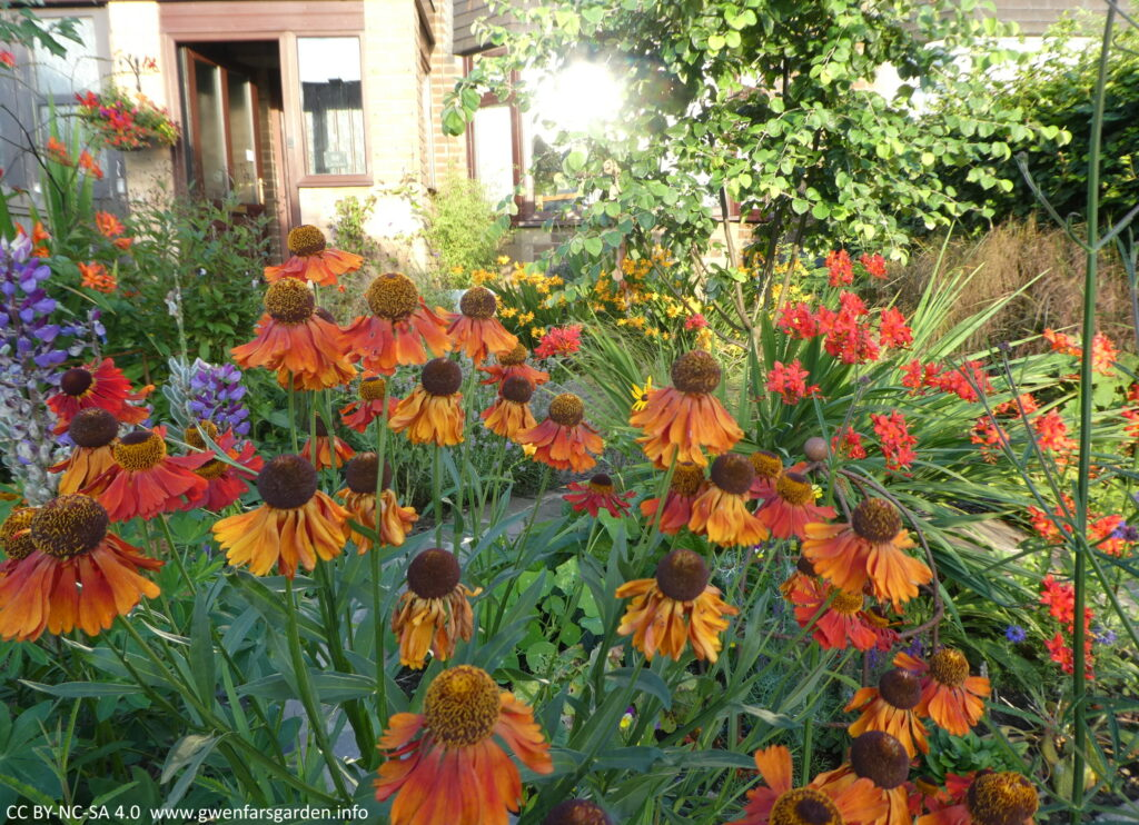 Multiple stems of flowers that are a mix of red, orange and burnt orange colours. This is the different stages of this plants' flowers. The newer flowers are deep red, then orange then burnt orange.