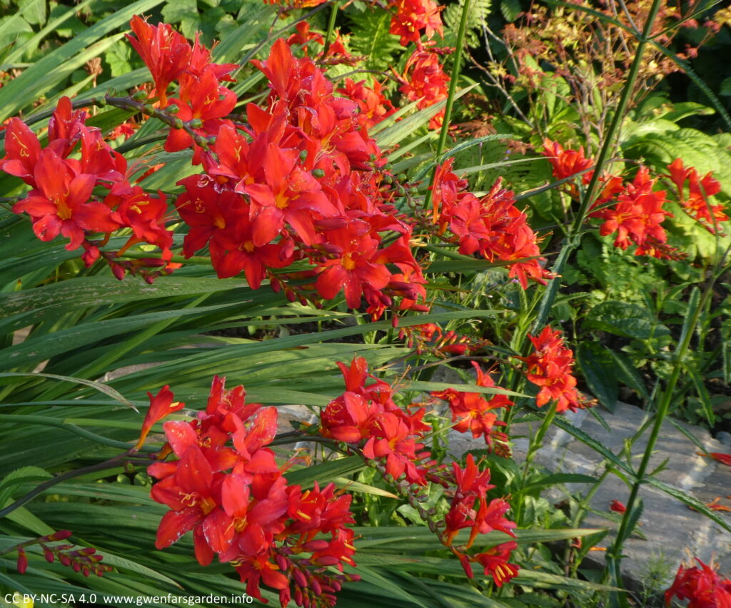 Several stems of star-shaped red flowers with orange sections in the middle of the flowers. Along with the stems of flowers, you can see the green sword-shaped leaves of the plant.