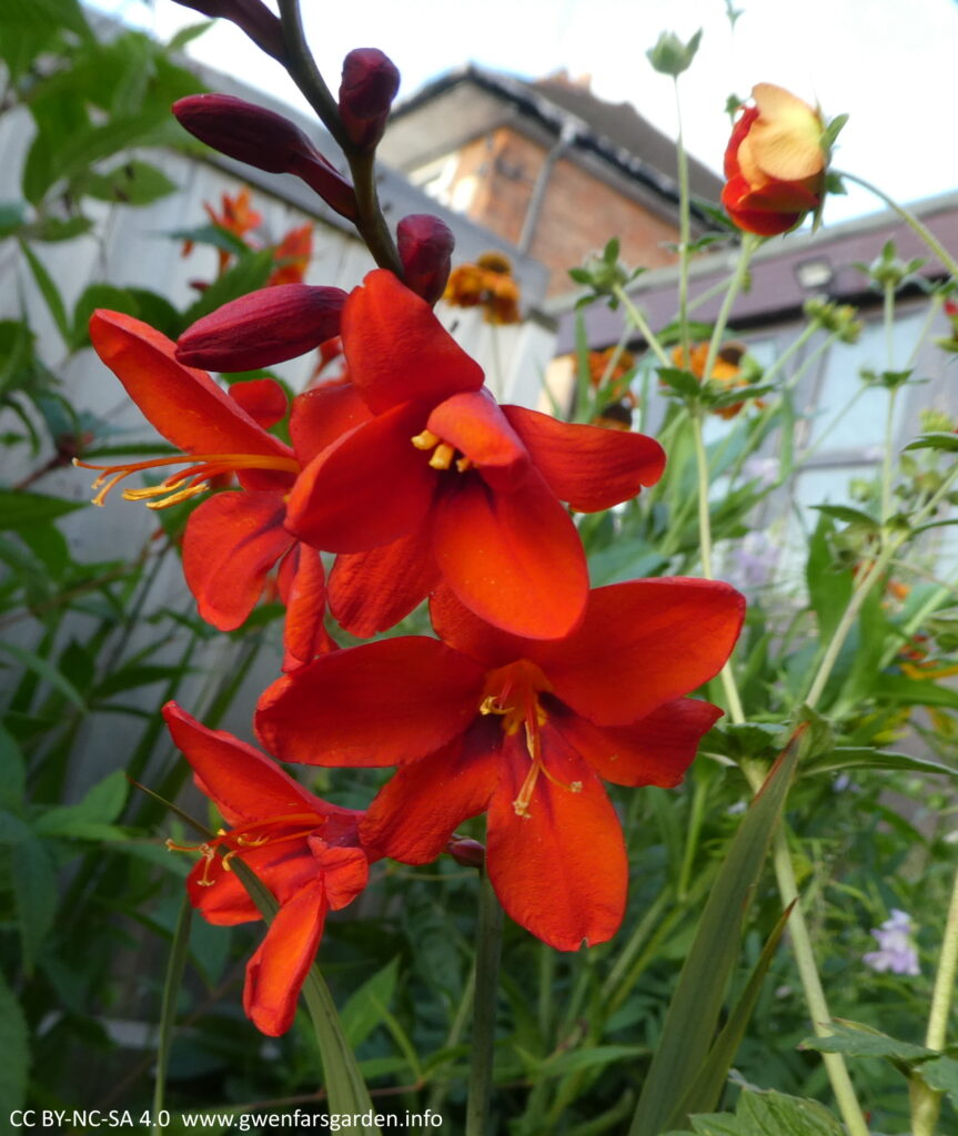 Close focus on some star-shaped bright red flowers on a stem with other flowers still as buds.